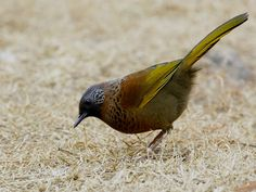 Chestnut-crowned Laughingthrush - photograph © Rajiv Lather