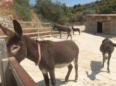 Donkey Sanctuary,  Limassol, Cyprus, 4772 Vouni Village, Limassol  7/24 ATTRACTIONS IN LIMASSOL. The Sanctuary is open daily from 10.00am to 4.00pm and there is no charge for admission.