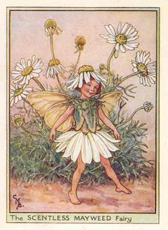Scentless Mayweed Fairy