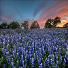 Texas Bluebonnet Flower Seeds (Lupinus Texenis) 40+Seeds