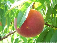 Pesche - Peaches