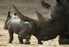 A Black Rhinoceros Calf, Just 2days Old, With His Mom.