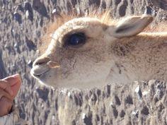 En Lama unge