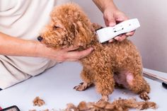 When you think of a dog that needs grooming, you picture a high-maintenance fur-baby like Maltese, Pomeranians, and especially poodles! This loving breed has secured… Puppy Haircut, Poodle Haircut, Dog Grooming Tips, Poodle Grooming, Shiba Inu, Pomsky, Pomeranians, Poodle Cuts, Dog Clippers