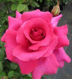 Hybrid Tea Rose 'Where The Heart Is'