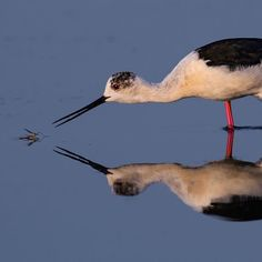 Artur Stankiewicz received an honorable mention in the Amateur category of the 2016 #AudubonPhotographyAwards for this photo of a Black-winged Stilt looking for a meal. See all of the winning pics via link in bio. by audubonsociety