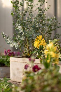 HERNEPENSASKUJANTEEN TAKANA SIINTÄÄ POTAGER: Keväinen ruukkuistutus ja keltainen hyasintti Takana, Plants, Plant, Planets