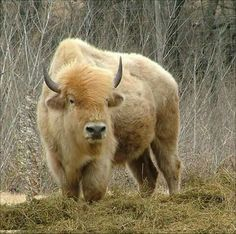 "⊕ on ""My soul is in the white buffalo. And now I'm back in the guise of a man."" -Chief Tatanka""My soul is in the white buffalo. And now I'm back in the guise of a man. Majestic Animals, Rare Animals, Animals And Pets, Strange Animals, Beautiful Creatures, Animals Beautiful, American Bison, American Coins, All Gods Creatures"