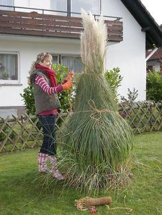 extrem winterhartes gras, sichtschutz, cortaderia selloana, Garten und bauen