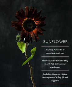 Design Sponge Flower Glossary: Sunflower