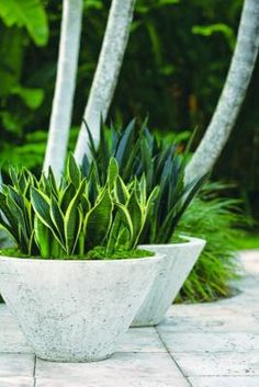 This plant is usually not one of my favorites but I have to admit it looks really nice in these low cement bowls! Snake Plant aka Mother's-in-Law Tongue...looks great in concrete pots.