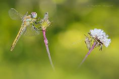 Sympetrum con Pentatomidae - null
