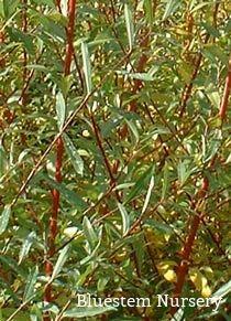 Salix alba 'Chermisina'