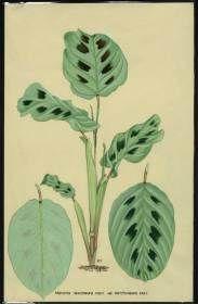 Maranta leuconeura http://www.plantillustrations.org