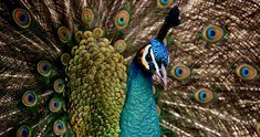 Free Image on Pixabay - Peacock, Beautiful, Colorful, Bird