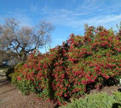 Toyon, Heteromeles arbutifolia, as a privacy screen between a house and the street.  I have one in my front yard. Hollywood was named after this tree/shrub. Red berries, also less commonly available with yellow berries. Handsome! 5 gallons available. Fast growing - about 3-4' a year. California native
