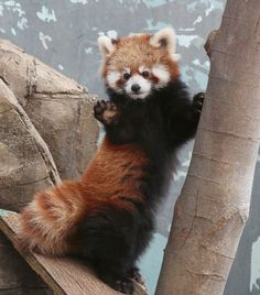 Red panda caught off-guard by the paparazzi