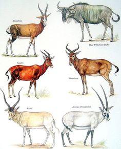 Bovids Bontebok Blue Wildebeest Arabian Ox by mysunshinevintage