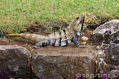 mexican-spiny-tailed-iguana-mating-period-19553642.jpg (400×267)