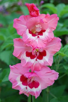 Gladiolus ~ Wine and Roses/ATTRACTS: Ruby Throated Hummingbirds.