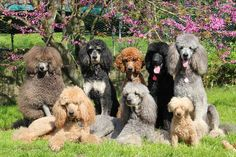 The curly family and relatives! #dogs #pets #Poodles #puppies #standards Facebook.com/sodoggonefunny