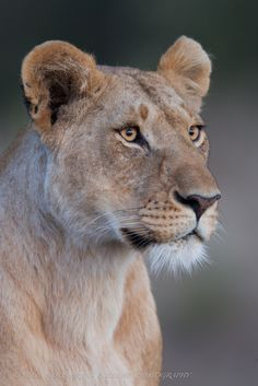 via / Eyes Wide Open & # por Nelis Wolmarans Lion Pictures, Animal Pictures, Majestic Animals, Animals Beautiful, Animals And Pets, Cute Animals, Lion Photography, Lioness Tattoo, Wild Lion