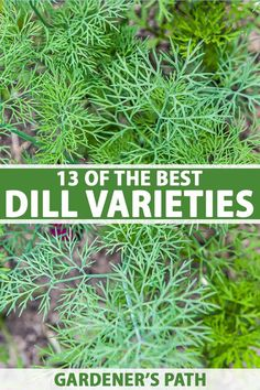 Dill is a popular addition to the herb garden, and a number of different cultivars are available. Its feathery, fragrant foliage adds interest to the landscape and livens up many a homecooked meal. Learn about 13 of the best dill varieties and find your favorites now on Gardener's Path. #dill #herbgarden #gardenerspath Hydroponic Gardening, Organic Gardening, Vegetable Gardening, Gardening For Beginners, Gardening Tips, Herb Garden In Kitchen, Herb Garden Design, Herbs Indoors, Raised Garden Beds