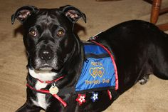 A Goddess of Love - Freya the pit bull brings love, kisses and tail wags to veterans, seniors and everyone she meets