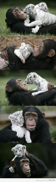 Chimp and tiger friends