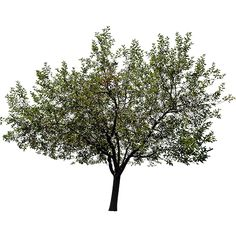 Fraxinus pennsylvanica is a species of ash that is native to eastern and central North America. This one has the background removed so it can be dropped onto your image relatively painlessly.