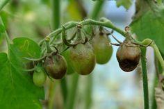 Фитофтороз или фитофтора на плодах томата