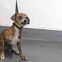 Downey Ca Chihuahua Meet 20 06904 A Pet For Adoption Honden Adoptie Dieren