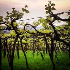 Videiras americanas, o mais tradicional   #vineyards #vinhedo #uva #vinho #wine