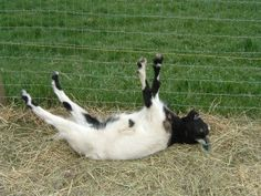 fainting goats are more properly called Myotonic goats. The breed is best known…