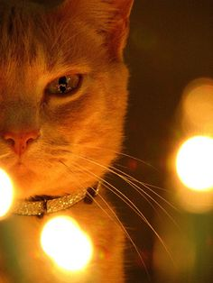 Catsparella: 20 Cats Basking in the Glow of Christmas Lights
