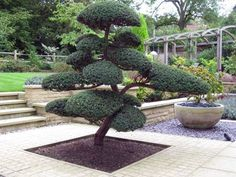 Architectural Plants: Planting by Us Bonsai Garden, Garden Trees, Trees To Plant, Garden Art, Modern Japanese Garden, Japanese Tree, Japanese Gardens, Cloud Pruning, Architectural Plants