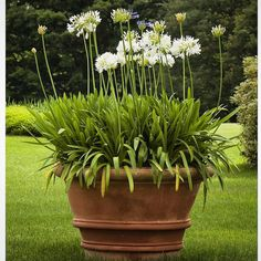 Wouldn't you love to have this magnificent beauty in your garden? Agapanthus are perfect for planting in large terracotta pots. Their evergreen strappy leaves look good on them! Evergreen Plants, Plants, Terra Cotta Pots Garden, Potted Plants Patio, Agapanthus In Pots, Evergreen Potted Plants, Houston Garden, Indoor Flowers, Large Terracotta Pots