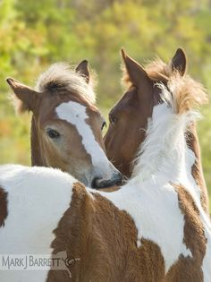Horse hugs, kisses, nuzzles. Paint horses grooming each other. Horse photohraphy by Mark J. Barrett