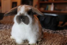 Baby Holland Lop 6 weeks old