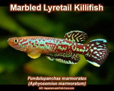 Marbled Lyretail Killifish