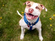 Five Questions to Ask Before Adopting a Pit Bull Unfortunately, too many people adopt a Pit Bull for the wrong reasons, or have little understanding of the common traits of the breed. Here are some questions to ask before you adopt a Pit Bull-type dog: Pitbull Terrier, Yorkshire Terrier, Beagle, Perros Pit Bull, American Pit Bull Terrier, Pitbull Facts, Pitbulls, Smiling Dogs, Smiling Animals