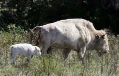 Last weekend White Cloud the albino buffalo made history for the National Buffalo Museum and Jamestown by giving birth to a white calf.    White Cloud gave birth late Friday to her fifth calf since she joined the herd 11 years ago. Bob Mountain, treasurer on the National Buffalo Museum Board, said the calf and her mother were spotted for the first time at about noon on Saturday. A closer look Sunday of the whiter-than-white calf confirmed for him that it's likely to be another albino.  9…