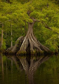 cypress roots reflected in the water - Great Dismal Swamp, Virginia. www.dogwoodalliance.org