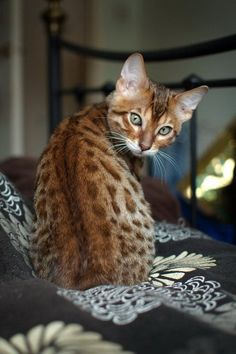 Ocicat is a spotted cat breed that looks like a wild cat, but don't be surprised if they display the domestic cat characteristics. While they look wild, these cat breeds have a mild temperament that is far from being ferocious. This dog like cat is extrem Cute Kittens, Cute Cats And Dogs, Cool Cats, Cats And Kittens, Cats Meowing, Big Cats, Pretty Cats, Beautiful Cats, Animals Beautiful