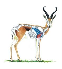 Springbok Shot Placement Guide - Horns with thicker bosses, inches above the ears, straight for about 2 inches and curl out the ear tips offer good trophy scores Africa Hunting, Boar Hunting, Big Game Hunting, Hunting Tips, Hunting Stuff, Hunting Scopes, Hunting Rifles, Safari, Colors