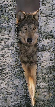 Gray Wolf Between Birch Tree Trunks by William Ervin