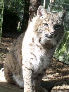 Raindance bobcat at Big Cat Rescue