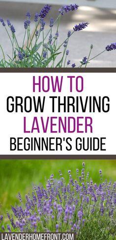 Lavender Plant Care, Growing Lavender, Growing Herbs, Lavender Flowers, Lavender In Garden, Lavender Companion Plants, Lavender Plants, Lavender Fields, Purple Roses