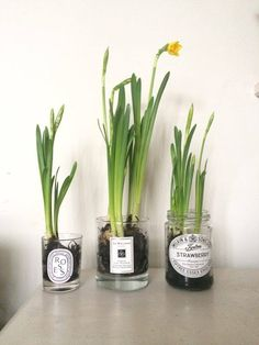 Old Jars (Roses and Rolltops) Spring Bulbs in Old JarsSpring Bulbs in Old Jars Jam Jar Flowers, Flower Boxes, Spring Plants, Spring Bulbs, Glass Jars, Candle Jars, Daffodil Bulbs, Indoor Plants, Pot Plants