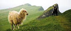 They have sheep and goats in Faroe Islands. :)